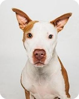 Pit Bull Terrier/Labrador Retriever Mix Dog for adoption in Houston, Texas - Ginger