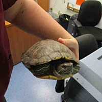Turtle - Other for adoption in Burbank, California - A062801