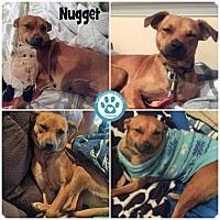 Adopt A Pet :: Nugget - Kimberton, PA