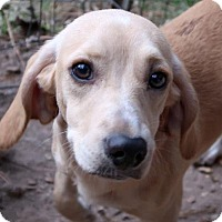 Beagle/Dachshund Mix Dog for adoption in Burbank, Ohio - Dazzle