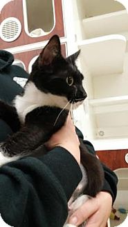 Domestic Shorthair Cat for adoption in Reisterstown, Maryland - Izzy