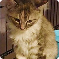 Calico Kitten for adoption in Brea, California - ANGELA