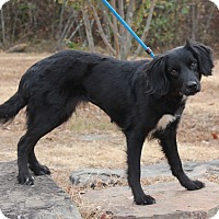 Cocker Spaniel Mix Dog for adoption in East Dover, Vermont - Kindle