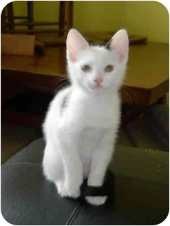 Domestic Shorthair Kitten for adoption in Tomball, Texas - Laurel