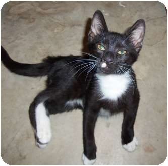 Domestic Shorthair Cat for adoption in Orlando, Florida - Sam