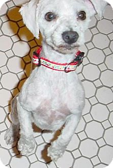Bichon Frise/Poodle (Standard) Mix Dog for adoption in Las Vegas, Nevada - Jason