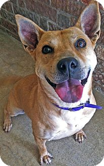Carolina Dog/Labrador Retriever Mix Dog for adoption in Converse, Texas - Momma Dog
