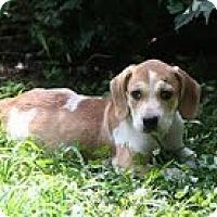 Adopt A Pet :: Eeyore - Brattleboro, VT