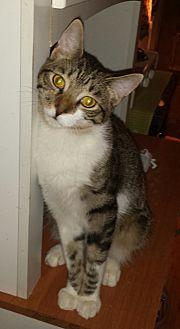 American Shorthair Cat for adoption in Cerritos, California - Strummer