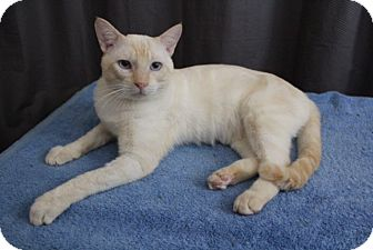 Siamese Cat for adoption in Honolulu, Hawaii - Moonshine