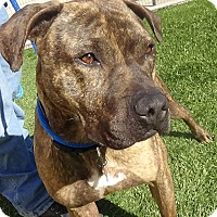 Boxer/Pit Bull Terrier Mix Dog for adoption in Inglewood, California - Griffin