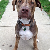 Adopt A Pet :: Gunner *Courtesy Cupid* - West Allis, WI