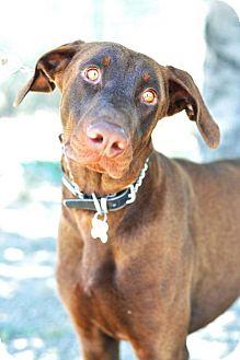 Doberman Pinscher Dog for adoption in Newhall, California - Ferdinand