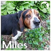 Adopt A Pet :: Miles - Novi, MI