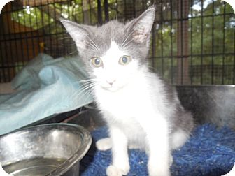 Domestic Shorthair Kitten for adoption in Old Town, Florida - Buttons