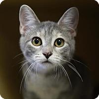 Domestic Shorthair Kitten for adoption in Kettering, Ohio - California Girl