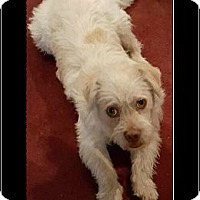 Terrier (Unknown Type, Medium)/Wheaten Terrier Mix Dog for adoption in Rancho Cucamonga, California - Walter