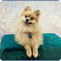 Adopt A Pet :: Teddy Graham - Dallas, TX