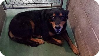 Rottweiler Mix Dog for adoption in Iroquois, Illinois - Jeremiah
