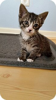 Domestic Shorthair Kitten for adoption in Tampa, Florida - Natty Bumppo