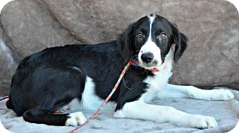 Border Collie Mix Dog for adoption in Yreka, California - Seager