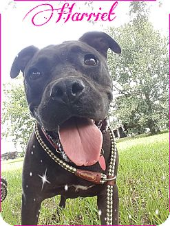 American Pit Bull Terrier Mix Dog for adoption in Calgary, Alberta - Harriet