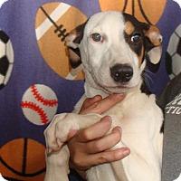 Australian Shepherd/Labrador Retriever Mix Puppy for adoption in Oviedo, Florida - Taxi