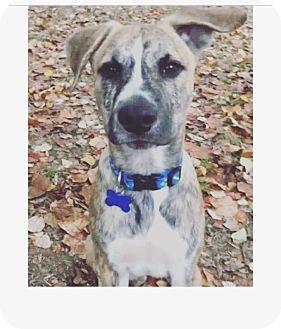 Boxer/Labrador Retriever Mix Puppy for adoption in Eden Prairie, Minnesota - Dak