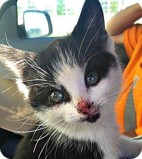 Domestic Shorthair Kitten for adoption in Burlington, North Carolina - KC