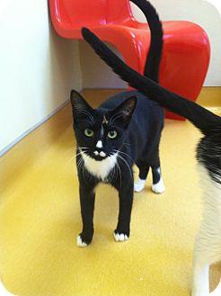 Domestic Shorthair Cat for adoption in Hudson, New York - Casey