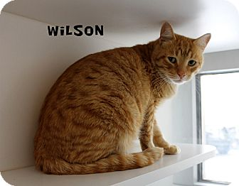 Domestic Shorthair Cat for adoption in Edgewood, New Mexico - Wilson