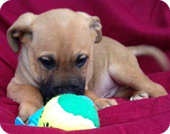 Labrador Retriever Mix Puppy for adoption in Albany, New York - Corbin
