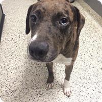 Adopt A Pet :: Mia - St. Louis, MO