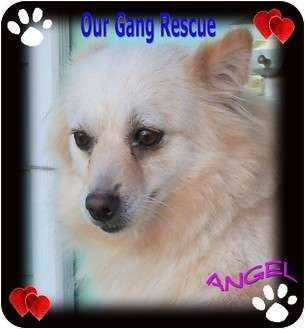Pomeranian Mix Dog for adoption in Cincinnati, Ohio - Angel - 2