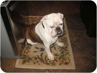 English Bulldog Dog for adoption in Gilbert, Arizona - Bentley