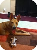 German Shepherd Dog/Basenji Mix Dog for adoption in Justin, Texas - Nya