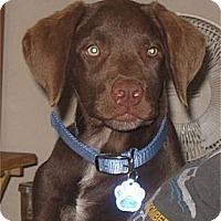 Adopt A Pet :: Joe (Bruin) - Golden Valley, AZ