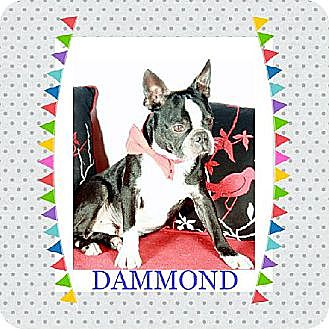 Boston Terrier Dog for adoption in Alabaster, Alabama - Dammond