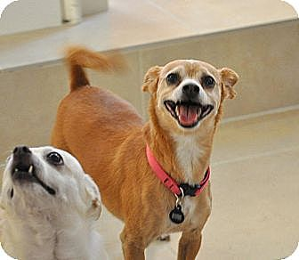 Chihuahua/Miniature Pinscher Mix Dog for adoption in Bellflower, California - Ginger- great walking partner!