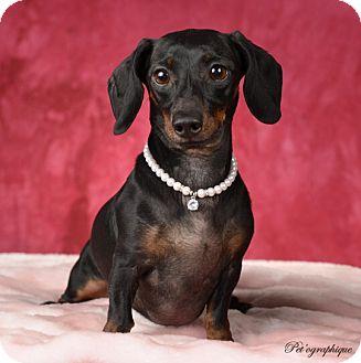 Las vegas nv dachshund mix meet mini a dog for adoption for Dog pound las vegas nevada