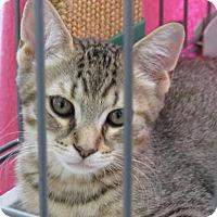 Adopt A Pet :: Cedrus - Raritan, NJ