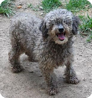 Poodle (Standard) Dog for adoption in Memphis, Tennessee - Renee