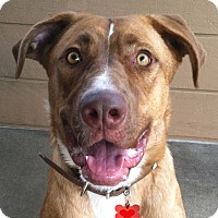Adopt A Pet :: Blondie - Canoga Park, CA