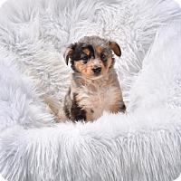 Adopt A Pet :: Cezanne - Groton, MA