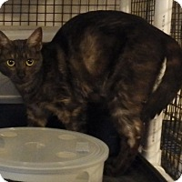 Domestic Shorthair Cat for adoption in Speedway, Indiana - Freya