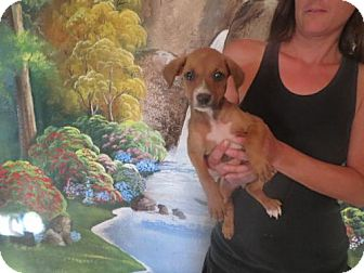 Boxer Mix Puppy for adoption in Moreno Valley, California - the 4th