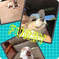 Adopt A Pet :: Furby - Scottsdale, AZ