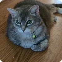 Domestic Shorthair Cat for adoption in Herndon, Virginia - Maggie