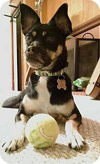 Pug/Chihuahua Mix Dog for adoption in Durham, North Carolina - Squeegee - New Leash On Life