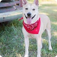 Carolina Dog/Shepherd (Unknown Type) Mix Dog for adoption in Dayton, Maryland - Katiyana